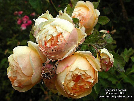 graham thomas rose just our pictures of roses. Black Bedroom Furniture Sets. Home Design Ideas